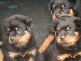 Welpen 6 Wochen alt - Odin und Kylie vom Steinberg (Wurfwiederholung)