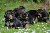 Puppies aged 3 weeks